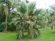 ***100 fresh  SEEDS***LATANIA LODDIGESII***BLUE LATAN PALM***free shipping**