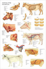 "Ox Bovine Cow Anatomy Poster 24"" X 36"" Wall Chart"