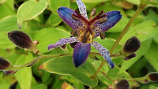 1 x Tricyrtis Taiwan Adbane - Toad Lily - Orchid-like flowers - Fully Hardy