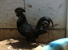 6 Pure Ayam Cemani Chicken Hatching Eggs