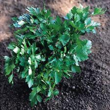 Herb Seeds - Parsley Italian Giant - 4000 Seeds