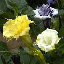 ^ Double Angel Trumpet Mix Datura/Brugmansia Fragrant - Hummingbirds like*seeds