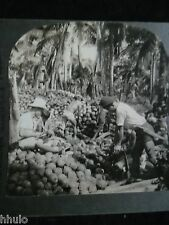 STA179 Husking Coconuts Near Pagsanjan Island of Luzon Keystone 1900 STEREO