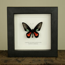 Anchises Cattleheart Real Butterfly(Parides anchises) insect taxidermy