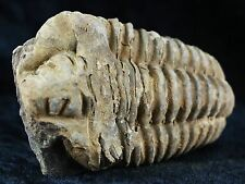 FLEXICALYMENE TRILOBITE FOSSIL FROM MOROCCO ORDOVICIAN AGE 400 MILLION YEARS AGO