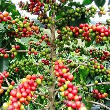 20 Coffea Arabica Seeds (Coffea Arabica Nana) Grow Your Own Coffee tree !