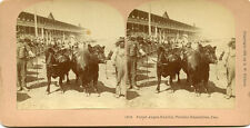 B W KILBURN LITTLETON NH STEREOVIEW TORONTO EXPOSITION CAN POLLED ANGUS EXHIBIT