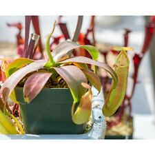 Nepenthes Sanguinea | Potted Carnivorous Tropical Pitcher Plant