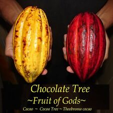 CHOCOLATE Tree ~Fruit of Gods~ Theobroma CACAO LIVE PLANT small starter Seedling
