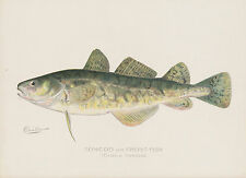 Tomcod Frost Fish Denton Chromolithograph Antique Print NY 1902 Signed