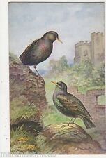 Starlings, George Rankin, Salmon 1830 Art Postcard, B558