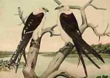 A4 Photo Brasher Rex 1919 Swallow tailed Kite Print Poster