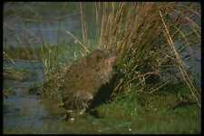 173081 Muskrat Standing Up On Hind Legs In Marsh A4 Photo Print