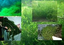 Nadelkraut/ Quellmoos/ Elodea... die schönsten Unterwasserbüsche für den Teich