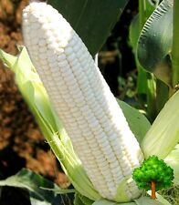 *UNCLE CHAN* 40 SEED SWEET CORN SNOW WHITE CORN THAILAND HEIRLOOMS VEGETABLE