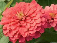 250 SALMON QUEEN ZINNIA Elegans California Giant Double Flower Seeds *Combnd S/H