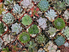 1 Pack 100 Rare Mixed Succulents Seeds Cactaceae Mini Potted Flower Organic S015