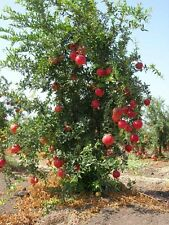 1 RUSSIAN POMEGRANATE TREE *14-24* INCHES FLOWERING FRUIT TREE, LIVE PLANTS