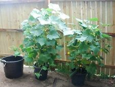 35 SPACEMASTER CUCUMBER SEEDS 2017 ( $2.50 MAX SHIPPING! )