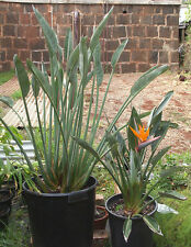 Rare seeds* Strelitzia reginae 'dwarf' *Dwarf Bird of Paradise * 3 fresh seeds*