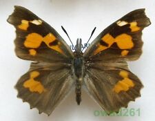 Libythea celtis (Laicharting, 1782) Bulgaria