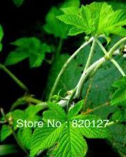 Gynostemma pentaphyllum jiaogulan Seeds from China Great Yao mountain 100pcs