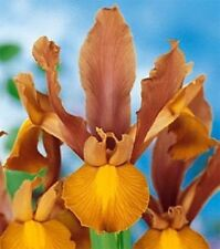 20 Iris Bulbs - Dutch Iris Autumn Princess,Exotic-looking blooms ,Beautiful !