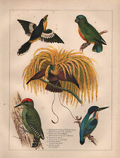 1890 VICTORIAN COLOURED PRINT ~ FLY CATCHER NEW GUINEA PARROT KINGFISHER