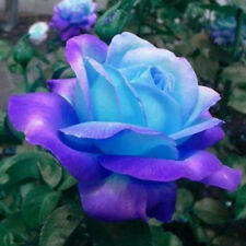 50x Rare Blue Pink Roses balcony potted roses series of flower seeds Home Decor