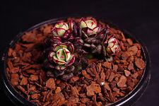 Echeveria cv. Joan Daniel 조안다니엘 (E. ciliata x E.nodulosa) Succulent plant (S)