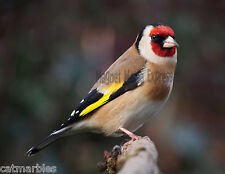 METAL REFRIGERATOR MAGNET European Goldfinch Bird Birds Travel United Kingdom