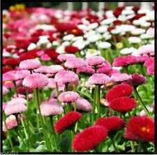 ENGLISH DAISY ,Double Mix, Bellis Perennis,300 NEW!