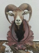 Mouflon Sheep Taxidermy Shoulder Mount HORNS TAXIDERMY - VINTAGE REAL