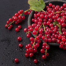 5 Cherry Red Currant Plants- Ships Fully Rooted in Soil -Hardiest Best Yield
