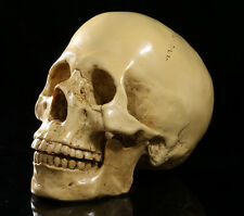 Human Anatomy Skull Replica 1:1 Realistic lifesize Resin Model Medical Halloween