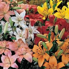 Asiatic Lily Mix 3 Bulbs Fall Planting Fragrant Hummingbirds & Butterflies Love