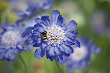 PIN CUSHION FLOWER MIX - Scabiosa caucasica - 40 seeds - PERENNIAL FLOWER