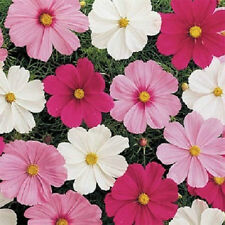 500 Seeds Cosmos Sensation Mix FLOWER SEEDS