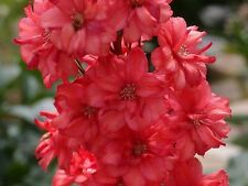25+ Red Delphinium Flower Seeds  / Long Lasting Perennial