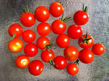 Tomate  Small  Red Cherry  50  Samen - Solanum lycopersicum