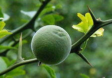 Poncirus trifoliata HARDY TRIFOLIATE ORANGE Tree 25 SEEDS RARE
