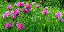 Rotklee-trébol Trifolium pratense - 1000 semillas Heil planta alimento planta 1409