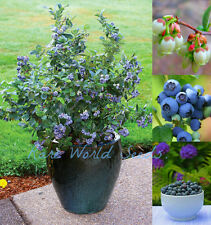 BEAUTIFUL and SWEET! Dwarf Blueberry 'Sunshine Blue'  Self-fertile! HARDY seeds.