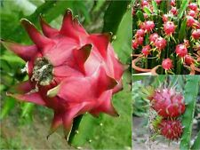 10 RED DRAGON FRUIT SEEDS (Hylocereus Polyrhizus) Pitaya Fruit Cactus Edible