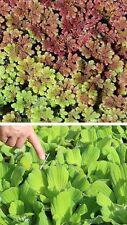 Set Schwimmpflanzen für den Gartenteich : Feenmoos & Muschelblumen Teichpflanzen
