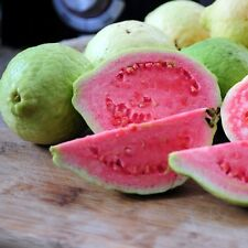 Apple Guava 'Pink Flesh' (psidium guajava) 6 Reliable Viable Seeds