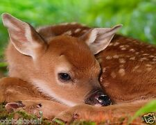 Deer / Fawn 8 x 10 GLOSSY Photo Picture Image #3