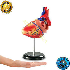 Heart Model Learning Resources Cross Section Human Anatomy Pumping Models Body