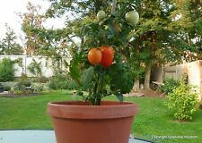 WINDOWBOX ROMA TOMATO SEEDS * 20 SEEDS  * CANNING * SALADS *