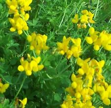 Wildflower Seeds - Greater Birdsfoot Trefoil - 1000 Seed